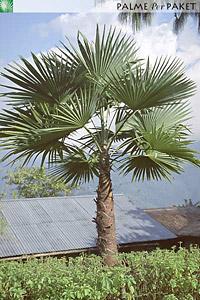 Erwachsene Trachycarpus latisectus im natürlichen Verbreitungsgebiet