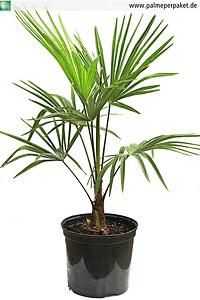 Jungpflanze von Trachycarpus nanus x T. wagnerianus in Kultur - Größe 60 cm