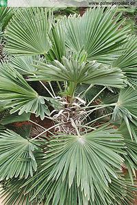 Blattkrone von Trachycarpus wagnerianus