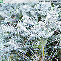 Trachycarpus wagnerianus im Winter mit Raureif
