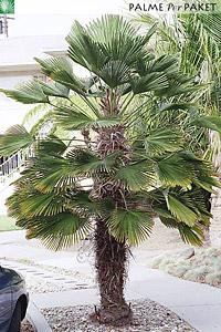 Erwachsene Trachycarpus wagnerianus in Kultur