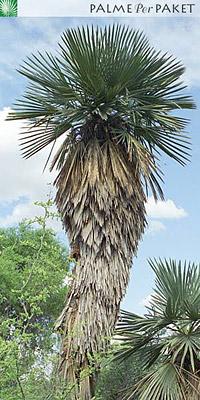 Erwachsene Trithrinax campestris im natürlichen Verbreitungsgebiet