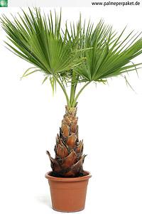 Jungpflanze von Washingtonia robusta - Größe 220 cm
