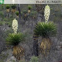 Erwachsene Yucca carnerosana im natürlichen Verbreitungsgebiet
