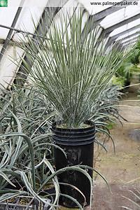 Jungpflanze von Yucca elata - Größe 70 cm