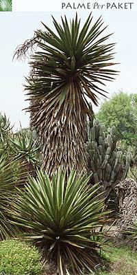 Erwachsene Yucca faxoniana im natürlichen Verbreitungsgebiet