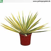 Jungpflanze von Yucca filamentosa 'Color Guard' in Kultur - Größe 20 cm