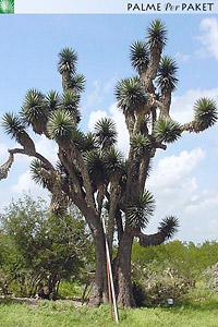 Erwachsene Yucca filifera