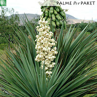 soco yucca yucca madrensis palme per paket. Black Bedroom Furniture Sets. Home Design Ideas