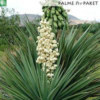 Blütenstand und Samenkapseln von Yucca madrensis