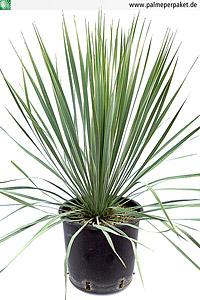 Jungpflanze von Yucca rostrata - Größe 50 cm