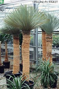 Erwachsene Yucca rostrata