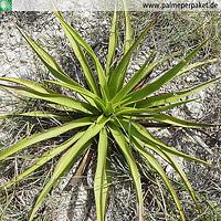 Erwachsene Yucca rupicola im natürlichen Verbreitungsgebiet