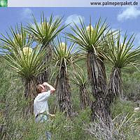 Erwachsene Yucca schidigera im natürlichen Verbreitungsgebiet