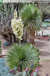 Erwachsene Yucca thompsoniana mit Blütenstand
