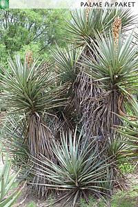Erwachsene Yucca torreyi im natürlichen Verbreitungsgebiet