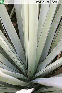 Blätter von Yucca treculeana