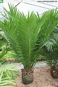 Erwachsene Zamia encephalartoides in Kultur