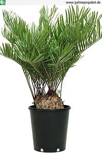 Jungpflanze von Zamia floridana - Größe 50 cm, Knolle 20 cm