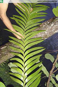 Blatt von Zamia pseudoparasitica