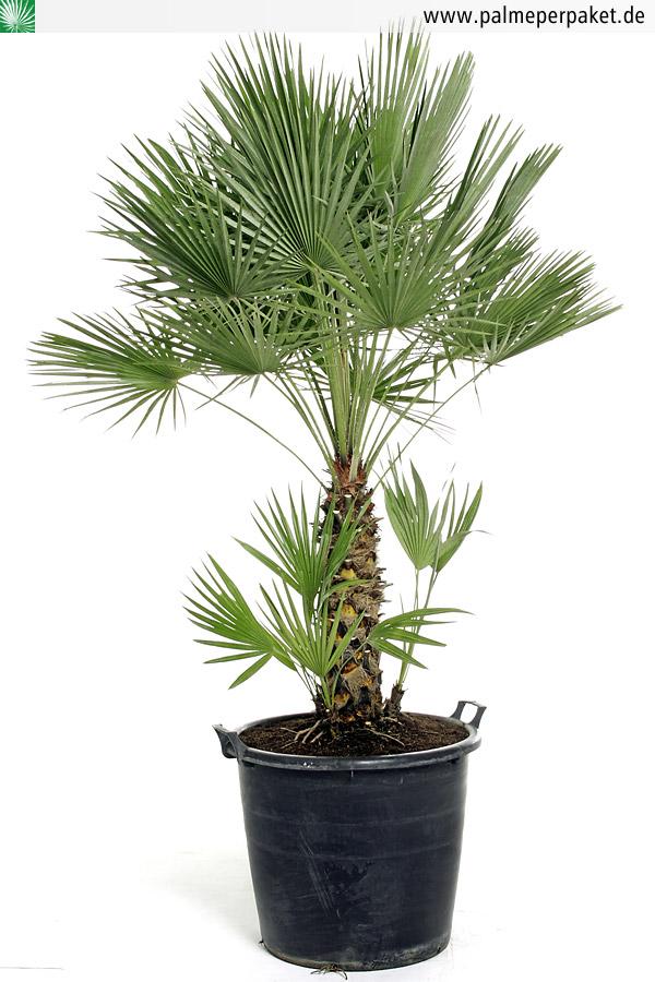 Jungpflanze Von Chamaerops Humilis Gr 246 223 E 140 Cm Palme