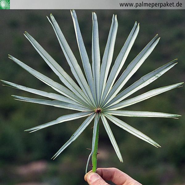 Blatt Von Chamaerops Humilis Var Cerifera Palme Per Paket