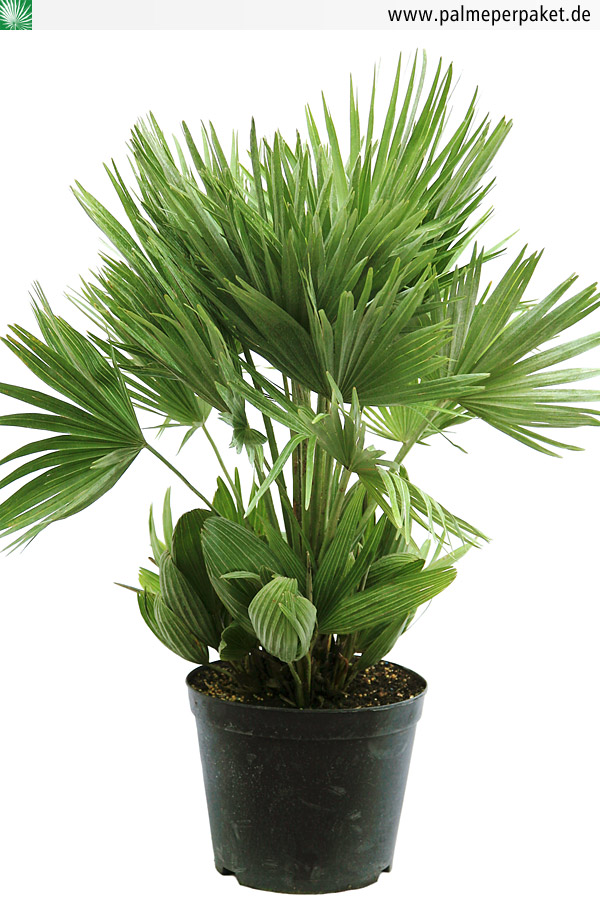 jungpflanze von chamaerops humilis 39 vulcano 39 gr e 60 cm palme per paket. Black Bedroom Furniture Sets. Home Design Ideas