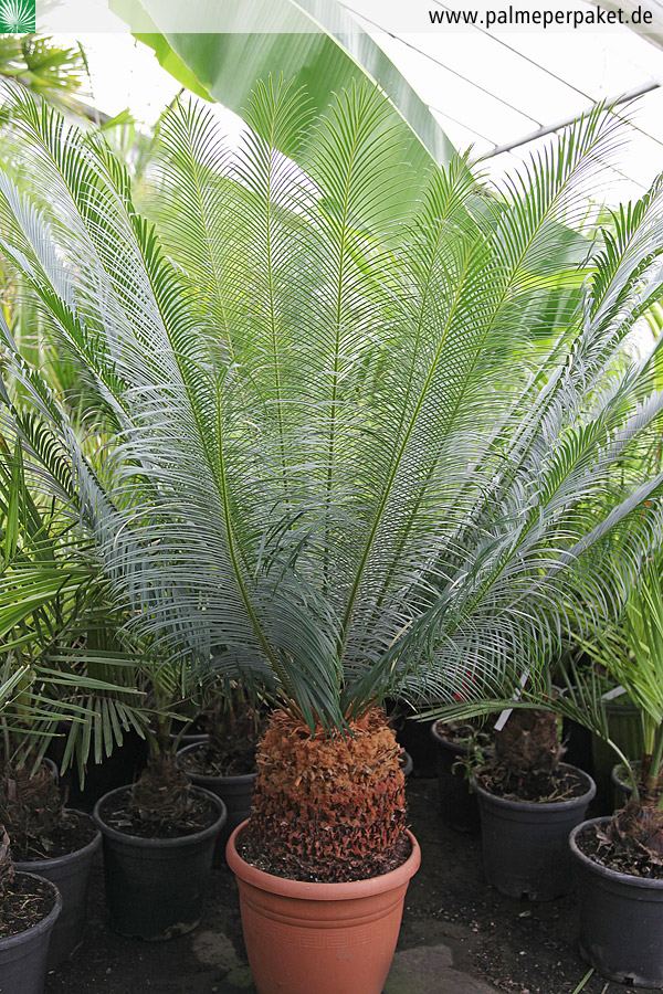 erwachsene cycas panzhihuaensis in kultur palme per paket. Black Bedroom Furniture Sets. Home Design Ideas