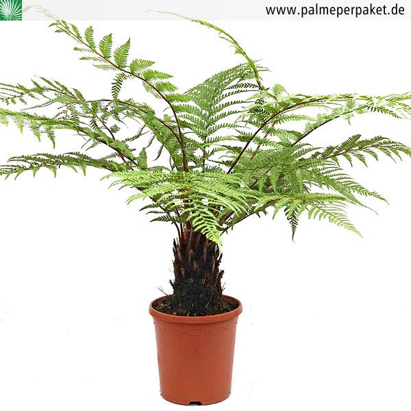 jungpflanze von dicksonia fibrosa gr e 70 cm palme per paket. Black Bedroom Furniture Sets. Home Design Ideas