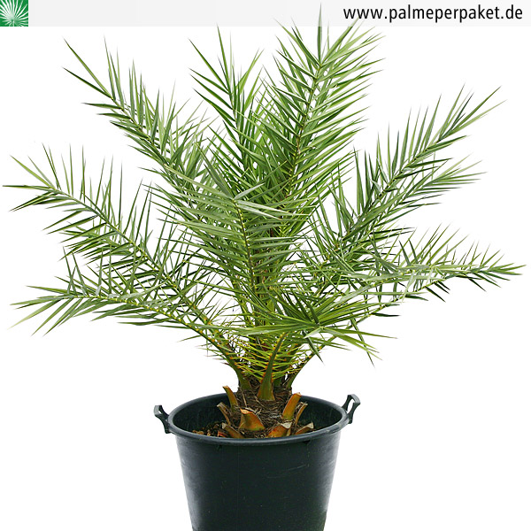 jungpflanze von phoenix theophrasti gr e 150 cm palme per paket. Black Bedroom Furniture Sets. Home Design Ideas