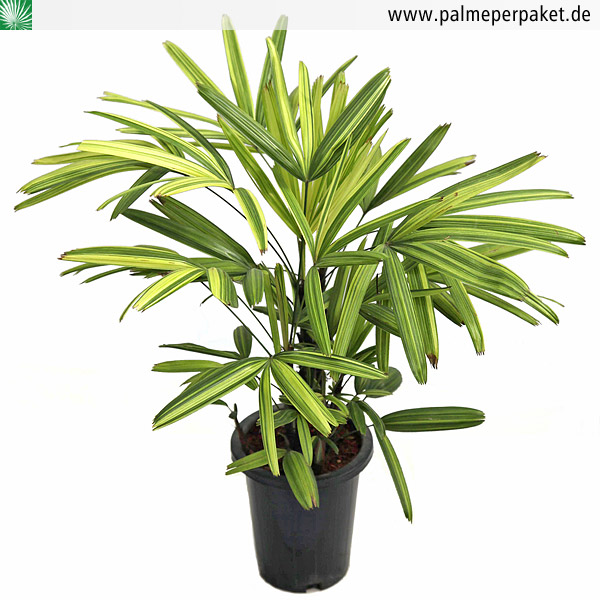 jungpflanze von rhapis excelsa 39 variegata 39 gr e 40 cm. Black Bedroom Furniture Sets. Home Design Ideas