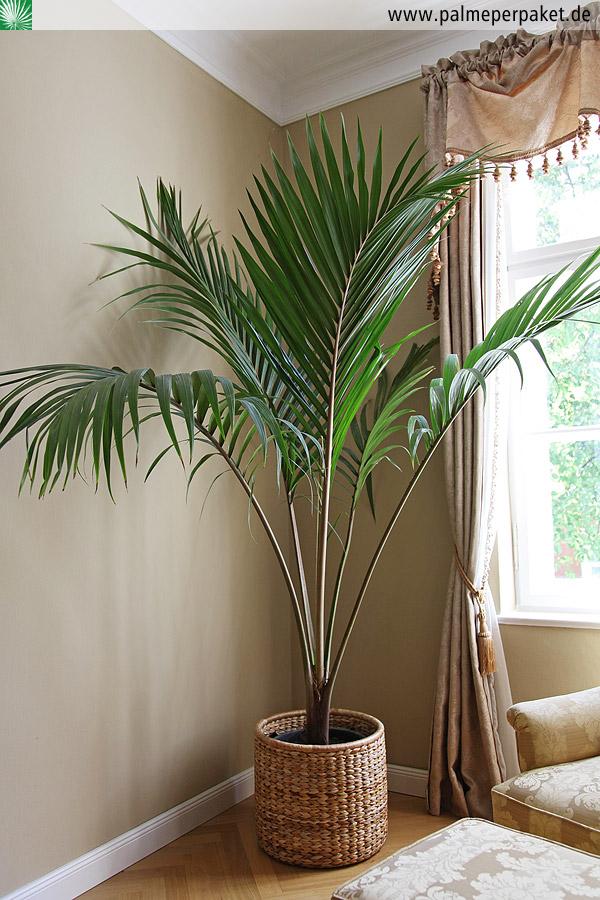 jungpflanze von rhopalostylis sapida 39 oceana 39 gr e 200 cm palme per paket. Black Bedroom Furniture Sets. Home Design Ideas