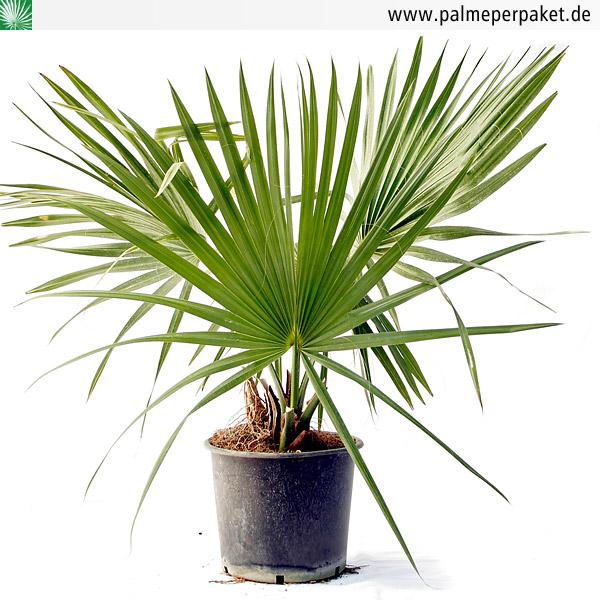 jungpflanze von sabal minor gr e 150 cm palme per paket. Black Bedroom Furniture Sets. Home Design Ideas