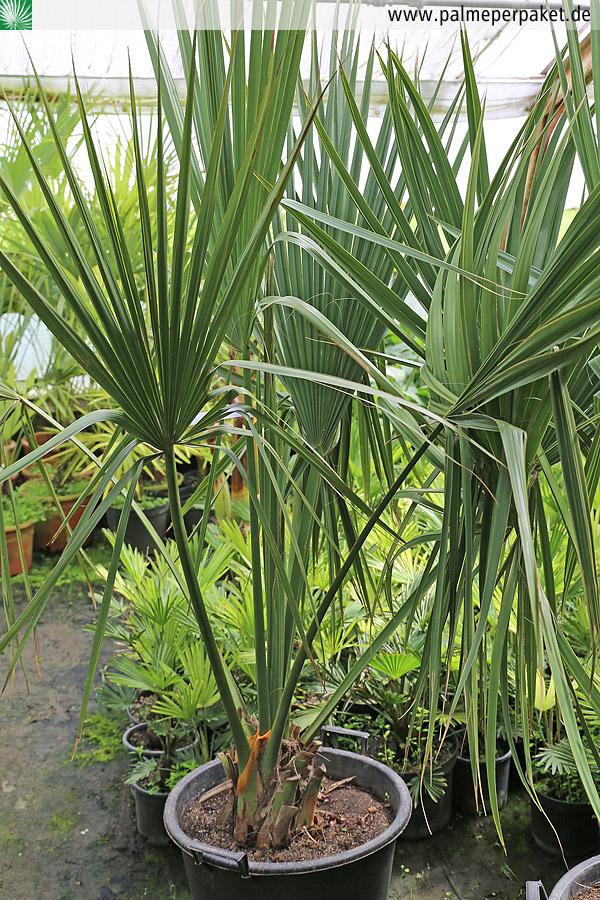 jungpflanze von sabal minor in kultur gr e 180 cm palme per paket. Black Bedroom Furniture Sets. Home Design Ideas