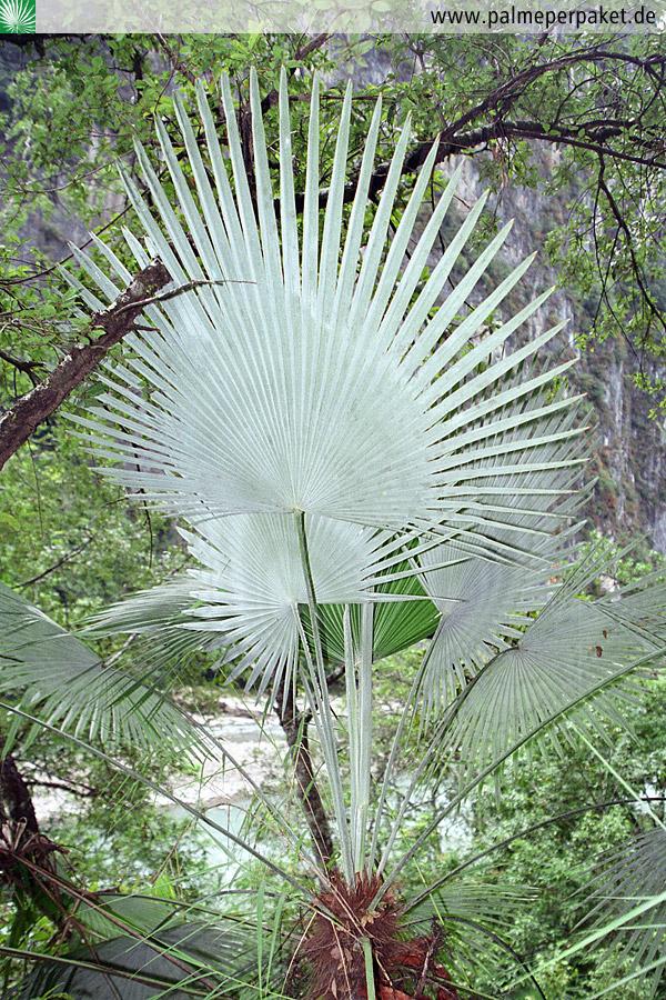 Blattunterseite Von Trachycarpus Princeps Palme Per Paket