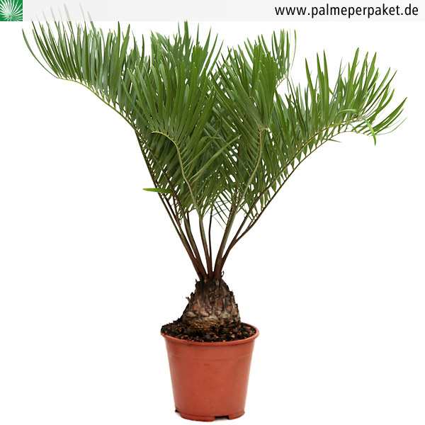zamia floridana in kultur gr e 30 cm knolle 6 cm palme per paket. Black Bedroom Furniture Sets. Home Design Ideas