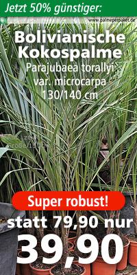 Parajubaea torallyi var. microcarpa