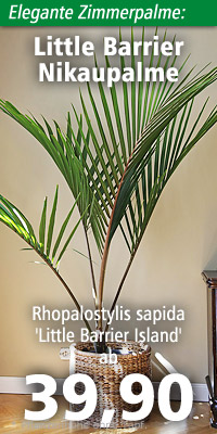 Rhopalostylis sapida 'Little Barrier Island'