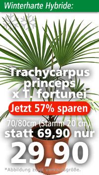 Trachycarpus princeps x T. fortunei