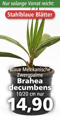 Brahea decumbens