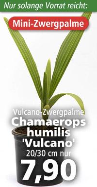 Chamaerops humilis Vulcano