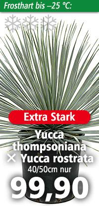 Yucca thompsoniana x Yucca rostrata