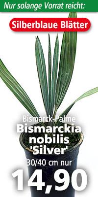 Bismarckia nobilis Silver