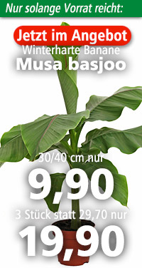 Musa basjoo