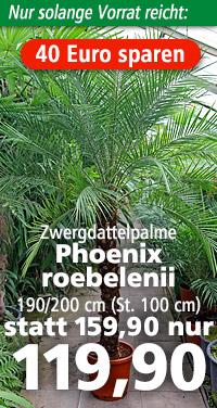 Phoenix roebelenii