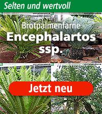 Encephalartos ssp.