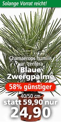 Chamaerops humilis var. cerifera