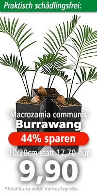 Macrozamia communis