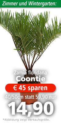 Zamia floridana