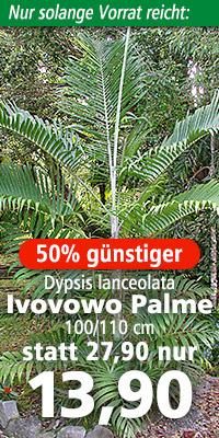 Dypsis lanceolata